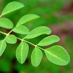 moringa_leaves